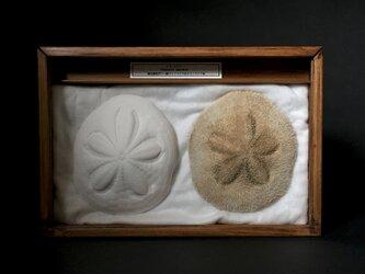 タコノマクラ骨格と乾燥標本。の画像