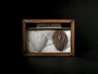 ヒラタブンブク骨格と乾燥標本。の画像