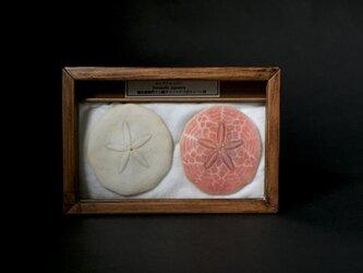 ヨツアナカシパン骨格と乾燥標本。の画像