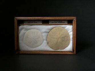 ハスノハカシパン骨格とカシパンの一種化石標本。の画像
