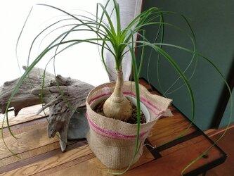 【風薫る】トックリラン 観葉植物の画像