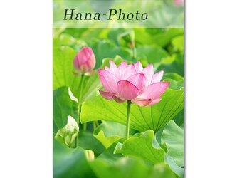 1472) 華やかなハスの花 ポストカード5枚組の画像