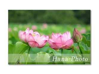 1471) 美しいハスの花  ポストカード5枚組の画像