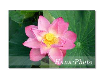 1473) 艶やかなハスの花 ポストカード5枚組の画像