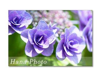 1475) バラのような薄紫のガクアジサイ  ポストカード5枚組の画像