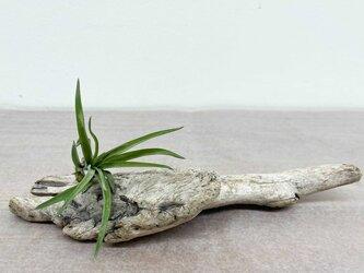 流木エアープランツ ペルティナNo.2の画像