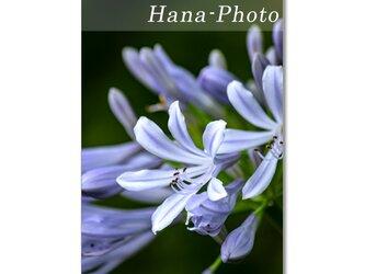 1483) 6月の青い花 アガパンサス・紫陽花 ポストカード5枚組の画像