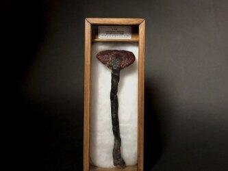 万年茸の標本(小さめ)。の画像