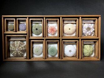 ウニ殻骨格標本箱11個セット。の画像