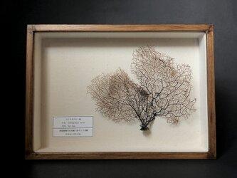 細かい枝ぶりのウミウチワ標本。の画像