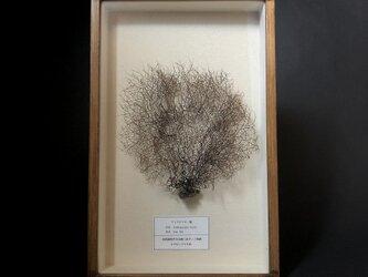 細かい枝ぶりのウミウチワ標本その二。の画像