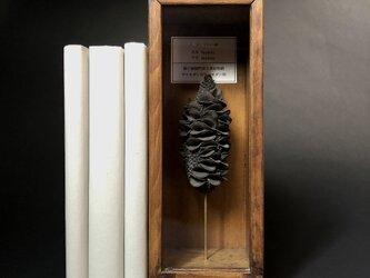 バンクシアの一種の実標本。の画像