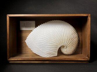 アオイガイの標本(特大20㎝)。の画像