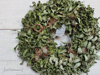 [callistemon] wreath  カリステモンのリース  ベルガムナッツ  ドライフラワーリース の画像