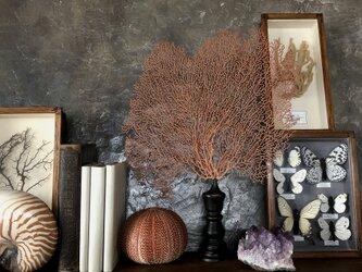 軟質珊瑚の一種の台座付き標本その五。の画像