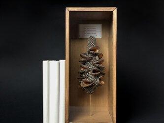 ファイアウッドバンクシアの実標本その五。の画像