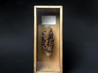 ロバーバンクシアの実標本。の画像