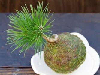 クロマツの苔玉【陶芸作家作 1点物器付き】の画像
