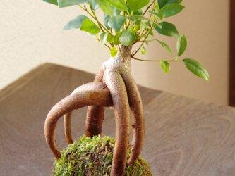 ミニカジュマルの苔玉の画像