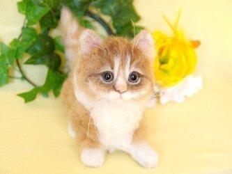 マンチカン 子猫 大きめの子の画像