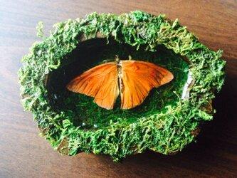 蝶の壁掛け標本の画像