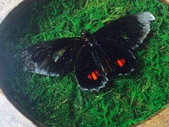 蝶の標本壁掛けの画像