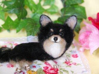 ★【 ロングコート チワワ ★ブラックタン 犬】の画像