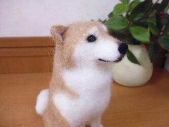 柴犬*羊毛フェルト* の画像