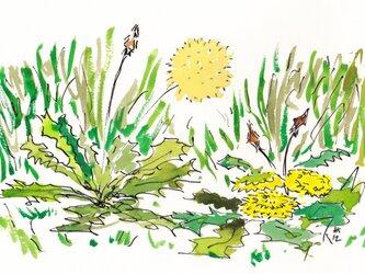 タンポポの水彩絵の画像