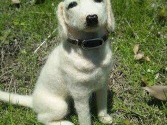 犬 ラブラドールの画像