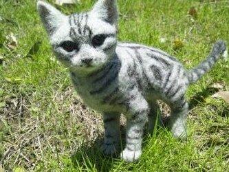 猫 アメリカンショートヘアーの画像