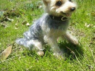 犬 ヨークシャテリアの画像