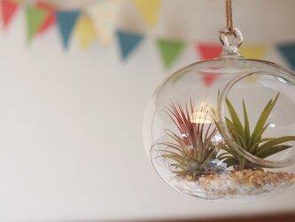 ガラスオーバル ×エアープランツ2株セットの画像