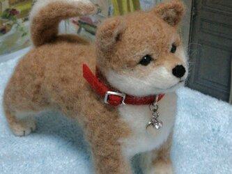 羊毛・豆柴子犬の画像