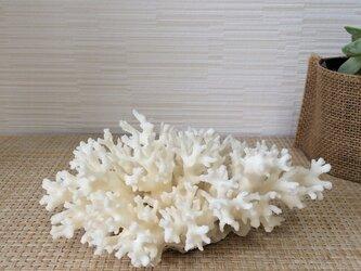 インテリアサンゴの画像