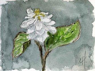 八重のどくだみの花の画像