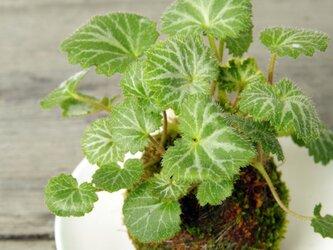 ユキノシタの苔玉の画像