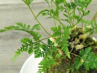 トキワシノブの苔玉の画像
