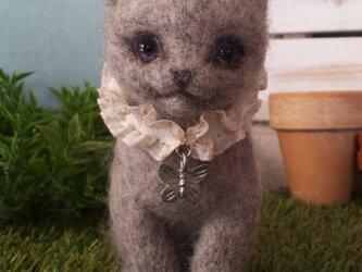 Chartreux シャルトリュー(猫)の画像