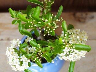 ピラカンサの盆栽の画像