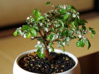 斑入りケヤキの盆栽の画像