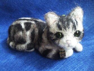猫 (アメリカンショートヘアー)の画像
