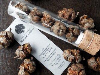 "Seed mania b ""Italian Cypress""の画像"