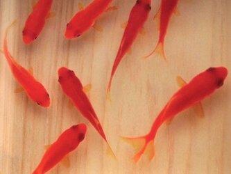 アクリル アート 桧  「咲/saki」 こだわりの純日本製 3D金魚 東濃桧の画像