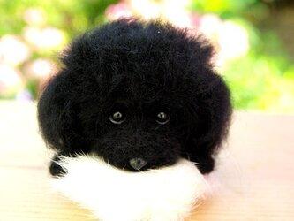 ★【 トイブードル ・ブラック 犬】の画像