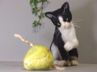 Hemingway cat   ココヤシと遊ぶBoise(ボイシー)の画像