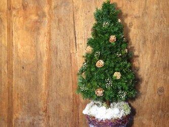 cedar treeの画像