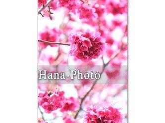 1053)緋寒桜と河津桜 5枚組ポストカードの画像