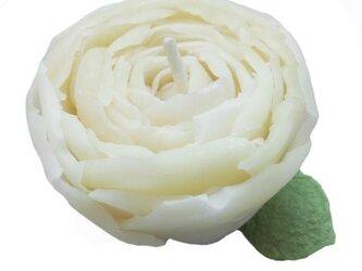 咲き出したシャクヤクの画像