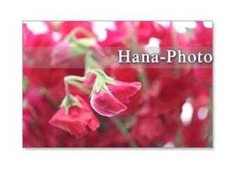 1057)聖子さんの赤いスイトピー  5枚組ポストカードの画像